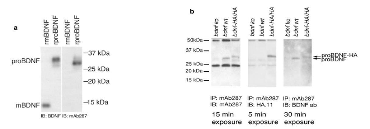 pro-bdnf-antibody