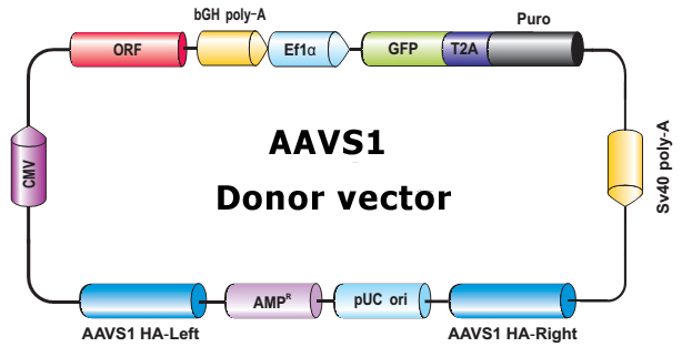 AAVS1_Donor_control-m