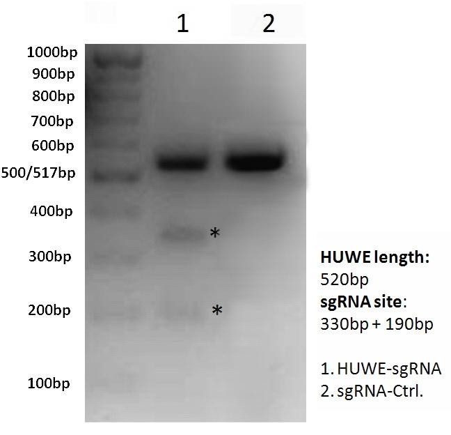 HUWEI-sgRNA_Cas9-clones